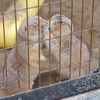 けものフレンズをきっかけにあらためて夢見ヶ崎動物公園に(2):プレーリードッグ流の挨拶であります!