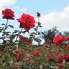 予定詳細:11/5(木)|もういっかい、ららら♪ 秋薔薇