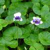 ツタスミレ,パンダスミレ,Viola hederacea