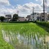 東京23区最後の田んぼ  足立区某所