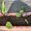 【ベランダdeプランター栽培】ナスの実がなってきた。