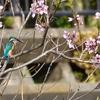 2018年2月26日 桜と小鳥たち  オオタカ?