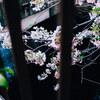 葉桜の目黒川。