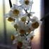 春、水仙が咲き出した。