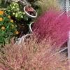 庭のコキアがやっと色づいてきました