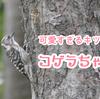 コゲラが可愛すぎる!木の幹を走る小さなしましまの野鳥