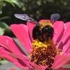 ヒャクニチソウに訪花したクマバチ