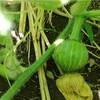 【2018.6.7~6.9】かぼちゃのしましま化と枝豆の実り