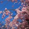 まだまだ続きます。桜ネタ枝垂れ桜(笑)