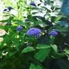植えてはいけない、ユーパトリウム・コエレスティナム。