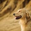 【大人気の犬種】ゴールデンレトリバーの金色のボディを美しく! お手入れの仕方を紹介【トリマーが紹介】
