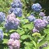 岡山の半田山植物園にて!半田山から見える景色とあじさいにとても癒されました。