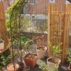 4月に入ったら追肥始めましょう…鉢植えのバラ