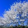 桜が綺麗でした。