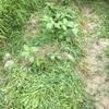 草マルチで、土作り ☆ 夏の畑仕事は草刈!?