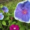 朝顔の花が風にふかれてひらひら~