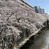 お花見@目黒川の桜並木・2021年3月26日