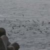 春の鳥見 雄島~九頭竜川周辺