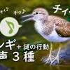 イソシギの鳴き声【野鳥図鑑・鳴き声図鑑】Actitis hypoleucos Sandpiper