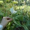 いまだに咲き続けているケシの花