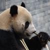 四川と言えばパンダ。臥竜自然保護区パンダ保護センター。四川、重慶フリー旅行IN春節 (6)