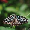 由布島で出遭った蝶たちとオマケ