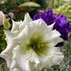 緑色のトルコギキョウ開花!