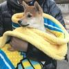柴犬あきとの生活 24