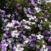 ニオイバンマツリの花