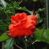 テラコッタ(チョコレートプリンス)は、夏の花色、夏の花姿
