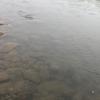 5月14日現在、朝の時点で農繁期の濁りが取れてきた?2019九頭竜川のサクラマス