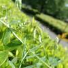 ふれあい広場周辺のつる植物 その2