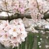 桜満開の目黒川〜東京お花見散歩〜