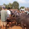 タイ東北部イサーン地方にある水牛市場の様子をご覧ください。2016/10