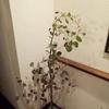 ユーカリポポラス.挿し木バラ鉢上げ