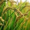 お米を炊くとふっくらする理由は、αデンプンになるから!