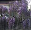 藤の花、楽しめます!続編です。(2021年4月10日)