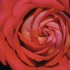 埼玉県の薔薇スポットを巡ってきました。