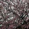 寒桜が見頃🌸