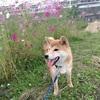 いよいよレンも散歩デビュー  柴犬が満足できる散歩とは?