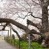 【モデルコース作ってみた】まちなか周遊バス「あかべぇ」「ハイカラさん」で巡る会津若松市の桜スポット🌸