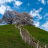 さきたま古墳公園の桜
