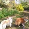 俣野別邸庭園は桜満開&リスいます