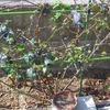 ウォシュタの葉が一杯出てきました。