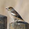 コワモテの野鳥が持つ隠れた美声。シメ(蝋嘴鳥)の特徴と魅力