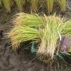 【まとめ】泥状の田んぼでの稲の手刈り&藁(わら)結びの方法、やり方