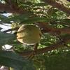 アーモンドの効果とは   自家農園のアーモンド収穫祭 アーモンド