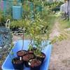 ブルーベリー→苗木販売、剪定、根を食われる 西日