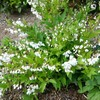 ヒメウツギ 開花