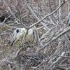 野幌森林公園は楽しい!27 アオサギはどこへ行った?